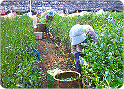 matcha sourcing harvest